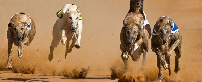 animal abuse of racing greyhounds